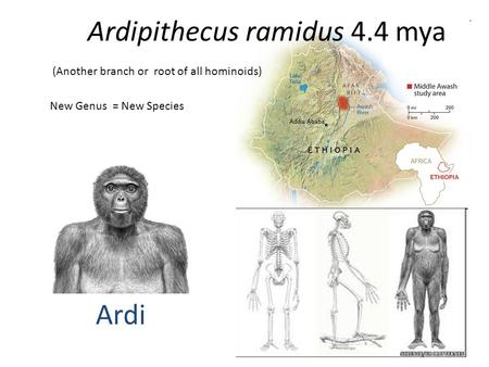 Ardipithecus ramidus 4.4 mya (Another branch or root of all hominoids) New Genus = New Species Ardi.