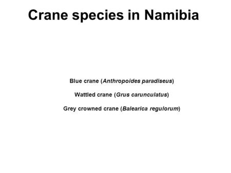 Blue crane (Anthropoides paradiseus) Wattled crane (Grus carunculatus) Grey crowned crane (Balearica regulorum) Crane species in Namibia.