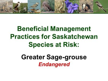 Beneficial Management Practices for Saskatchewan Species at Risk: Greater Sage-grouse Endangered.