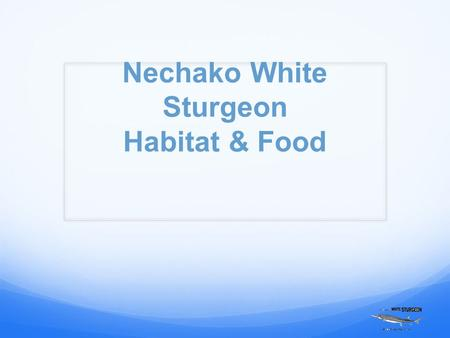 Nechako White Sturgeon Habitat & Food