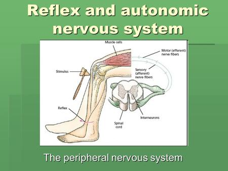 Reflex and autonomic nervous system The peripheral nervous system.