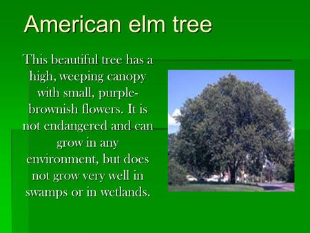 American elm tree This beautiful tree has a high, weeping canopy with small, purple-brownish flowers. It is not endangered and can grow in any environment,