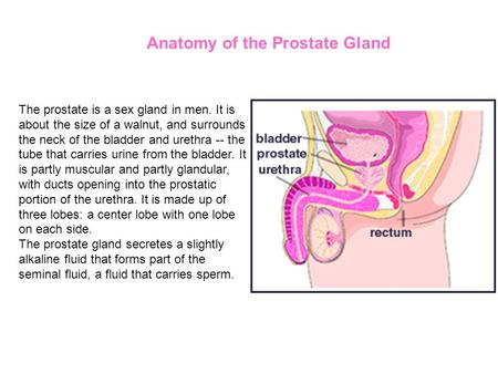 The prostate is a sex gland in men. It is about the size of a walnut, and surrounds the neck of the bladder and urethra -- the tube that carries urine.