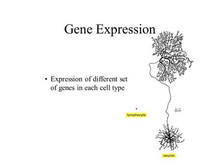 Gene Expression Expression of different set of genes in each cell type.