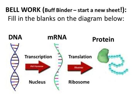 Dna vs rna partner matching ppt video online download 1 4 ribosome translation 3 protein 2 bell work buff binder ccuart Choice Image