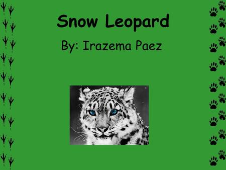 Snow Leopard By: Irazema Paez. Description Have you ever seen a snow leopard at the zoo or on tv? What are they like in the wild? Snow leopards have muscular.