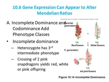 <strong>10</strong>.6 Gene Expression Can Appear to Alter Mendelian Ratios A. Incomplete Dominance and Codominance Add Phenotype <strong>Classes</strong> Incomplete dominance – Heterozygote.