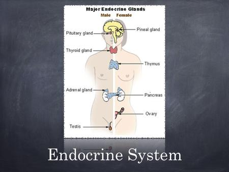 Endocrine System. Made up of glands that secrete hormones. Eight major glands scattered throughout the body, but considered one system because they have.