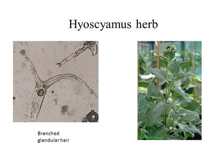 Hyoscyamus herb Branched glandular hair.