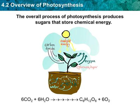 4.2 Overview of Photosynthesis The overall process of photosynthesis produces sugars that store chemical energy. 6CO 2 + 6H 2 O  C 6 H 12 O 6 + 6O.