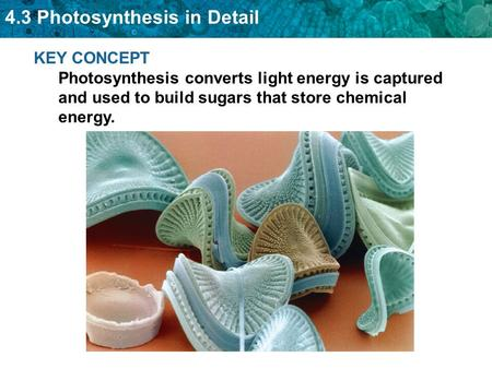 4.3 Photosynthesis in Detail KEY CONCEPT Photosynthesis converts light energy is captured and used to build sugars that store chemical energy.