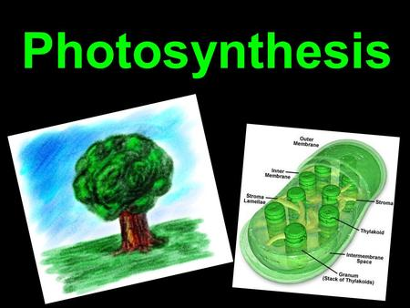 Photosynthesis. Autotrophs and Heterotrophs Autotrophs are organisms that make their own food Heterotrophs are organisms that need to ingest food to obtain.