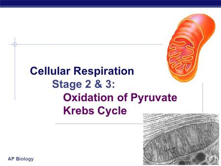 AP Biology 2006-2007 Cellular Respiration Stage 2 & 3: Oxidation of Pyruvate Krebs Cycle.