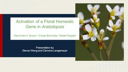 Activation of a Floral Homeotic Gene in Arabidopsis Maximilian A. Busch,* Kirsten Bomblies,* Detlef Weigel† Presentation by Steven Wang and Clemens Langemeyer.