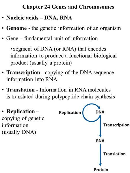 Chapter 24 Genes and Chromosomes
