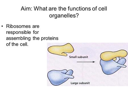 Aim: What are the functions of cell organelles? Ribosomes are responsible for assembling the proteins of the cell.