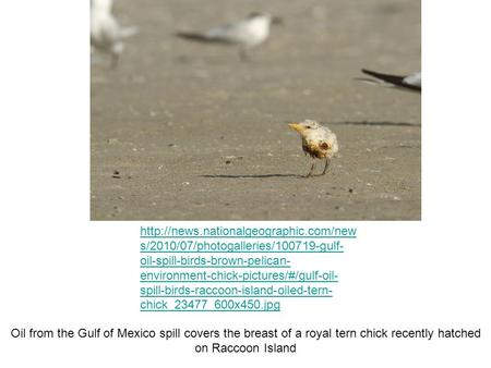 s/2010/07/photogalleries/100719-gulf- oil-spill-birds-brown-pelican- environment-chick-pictures/#/gulf-oil- spill-birds-raccoon-island-oiled-tern-