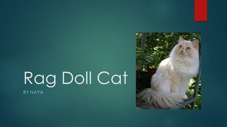 Rag Doll Cat BY NAYA. What does a rag doll cat look like?  A rag doll cat is white and around its mouth is black.  The Rag doll cat is a breed with.