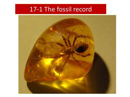 17-1 The fossil record. Fossils Remains of once-living things Appear in a particular order Provide evidence for evolution.