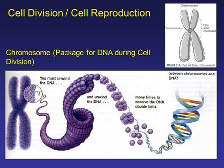 Cell Division / Cell Reproduction Chromosome (Package for DNA during Cell Division)