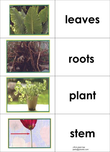 Leaves plant stem roots JIR-A plant has