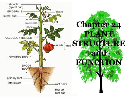 Chapter 24 PLANT STRUCTURE and FUNCTION
