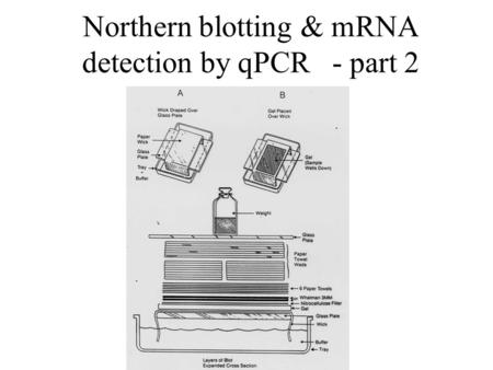 Northern blotting & mRNA detection by qPCR - part 2.