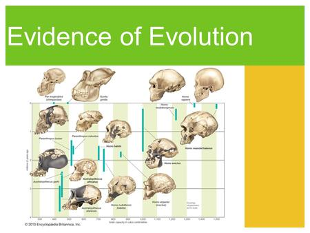 Evidence of Evolution. Fossils Provide Evidence Animal fossils show a pattern of development from early ancestors to their modern descendants. There are.
