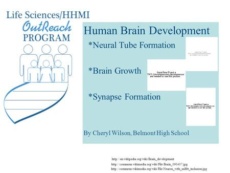 Human Brain Development *Neural Tube Formation *Brain Growth *Synapse Formation By Cheryl Wilson, Belmont High School