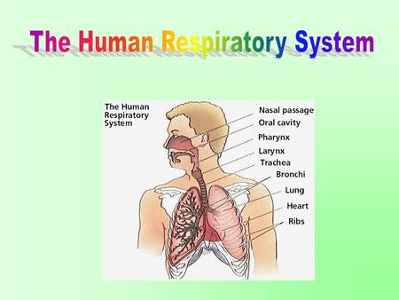 Aim: What are the parts and functions of the human respiratory system? I. Parts of Human Respiratory System A. Nasal Cavity 1. Warms the air (capillary.