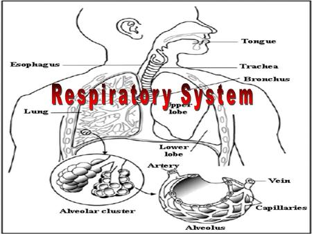 I. Respiratory System A. Structures / Functions 1. Nasal Cavity – warm, moisten and filter airNasal Cavity Mucus, hairs = trap dust, dirt and pathogens.
