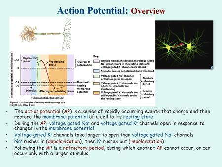 Action Potential: Overview The action potential (AP) is a series of rapidly occurring events that change and then restore the membrane potential of a cell.