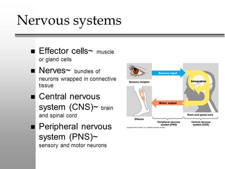 Nervous systems n Effector cells~ muscle or gland cells n Nerves~ bundles of neurons wrapped in connective tissue n Central nervous system (CNS)~ brain.
