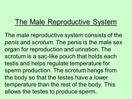 The Male Reproductive System The male reproductive system consists of the penis and scrotum. The penis is the male sex organ for reproduction and urination.