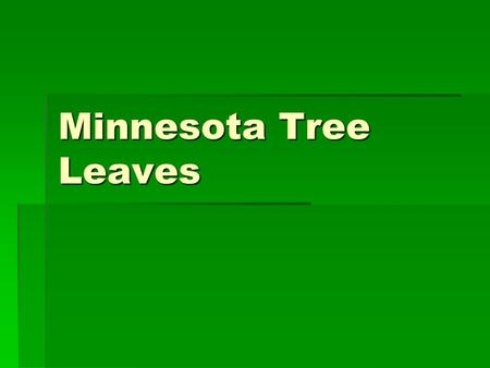 Minnesota Tree Leaves.  Green Ash  Pinnate compound leaf, 5-9 leaflets,  White colored wood used to make baseball bats, skis.