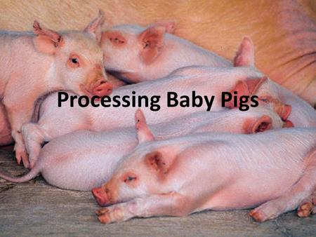 Processing Baby Pigs. What to do when they are born? Provide zone heating with heat lamps, heat pads The first milk, colostrum, is rich in disease- preventing.