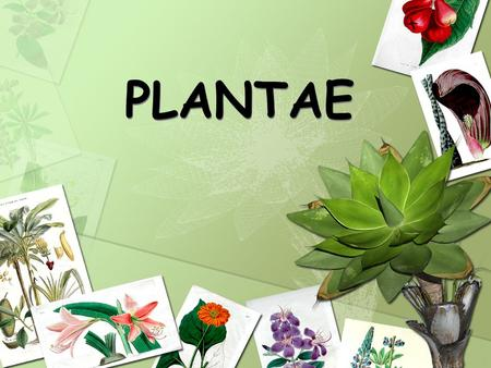 PLANTAE. Vocabulary Autotroph: An organism that can make its own food Fertilization: Joining of a sperm and an egg cell Phloem: Vascular tubes that carry.