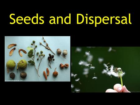 Seeds and Dispersal. Seed- an undeveloped plant with stored food sealed in a protective coating. Seed Coat Leaf Root Stem.