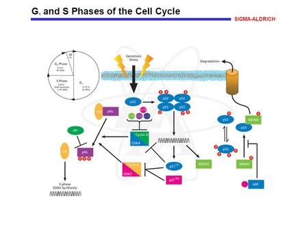 G 1 and S Phases of the Cell Cycle SIGMA-ALDRICH.