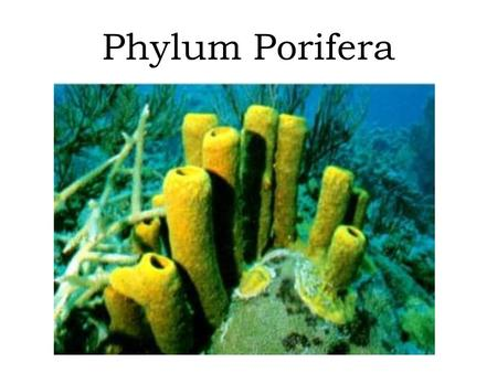 "Phylum Porifera. Means ""pore-bearer"" Radial summetry Sessile as adults Includes sponges…not very complex (no tissues/organs/systems) Life functions take."
