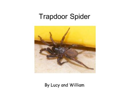 Trapdoor Spider By Lucy and William. What Do They Eat? Trapdoor spiders eat insects and bugs. They cant choo their food so they jringk it. When spiders.