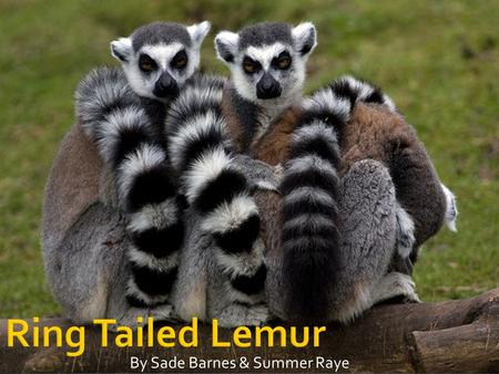 Ring Tailed Lemur By Sade Barnes & Summer Raye.