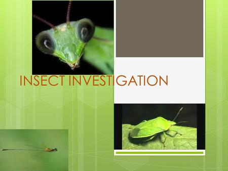 INSECT INVESTIGATION. Your Tasks  As an Insect Investigator, you will complete the following tasks:  1. Choose an insect or arachnid and research it.