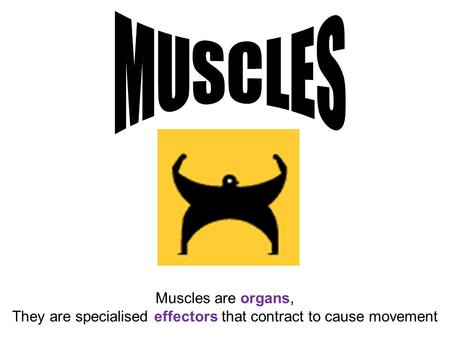 Muscles are organs, They are specialised effectors that contract to cause movement.