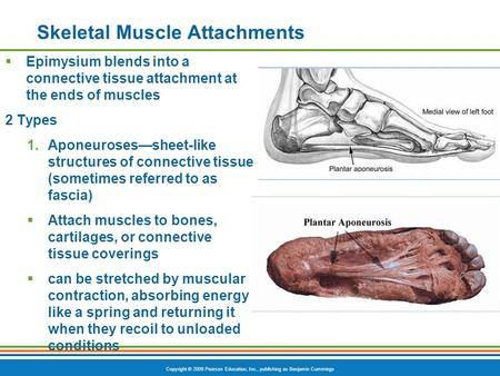 Copyright © 2009 Pearson Education, Inc., publishing as Benjamin Cummings Skeletal Muscle Attachments  Epimysium blends into a connective tissue attachment.