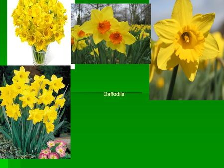 Daffodils. What colours do daffodils come in?  Daffodils come in orange /yellow  All yellow,  White/yellow,  pink/yellow,  White/orange,  Pinky/orange,