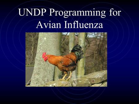 UNDP Programming for Avian Influenza. What is the UN doing?