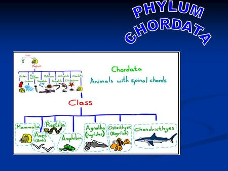 PHYLUM CHORDATA Characteristcs of Chordates: Characteristcs of Chordates: all chordates have 4 characteristics in common at some point in their life cycle: