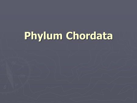 Phylum Chordata. Characteristics of Chordates ► Notochord ► Dorsal nerve cord ► Pharyngeal pouches or gill slits ► Postanal tail.