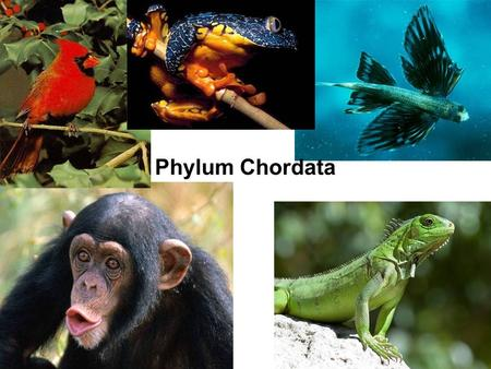 Phylum Chordata. Deuterostomes The four traits ALWAYS –Notochord –Pharyngeal slits/pouches –Hollow, dorsal nerve cord –Postanal tail Other traits –Endostyle.